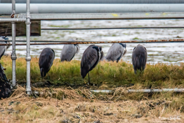 Herons Hunkered Down Under an Oil Pipeline - Herons - Rising Moon NW Photography