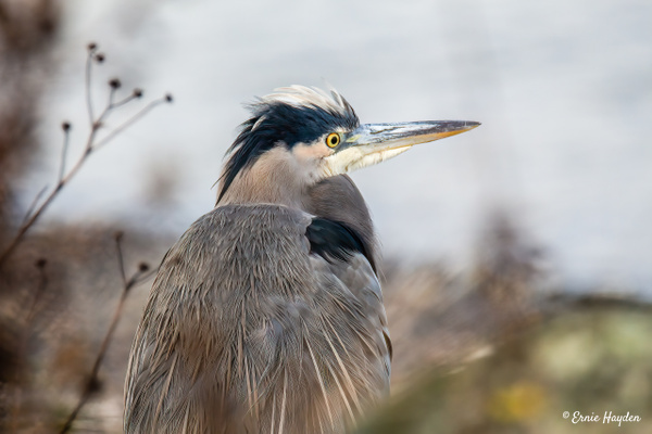 A Relaxed Heron on the Beach - Herons - Rising Moon NW Photography