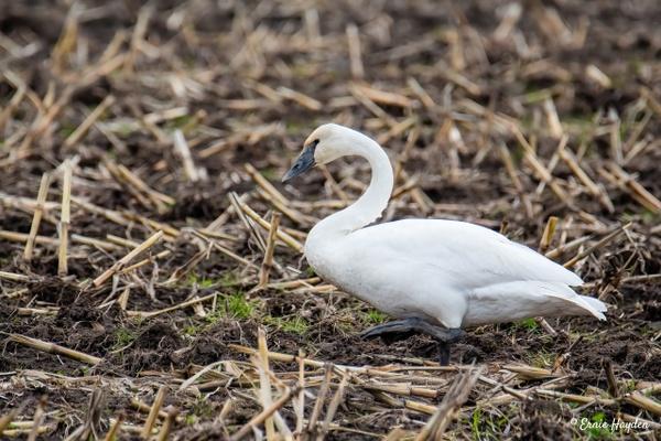 Trumpeter Swan Walking - Waterbirds - Rising Moon NW Photography