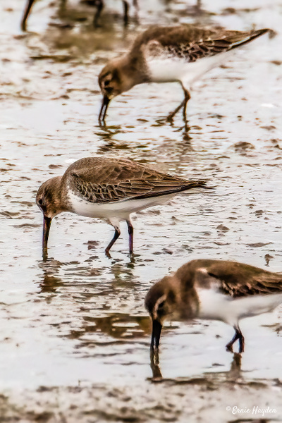 20201113 (2 of 2)Dunins - Waterbirds - Rising Moon NW Photography