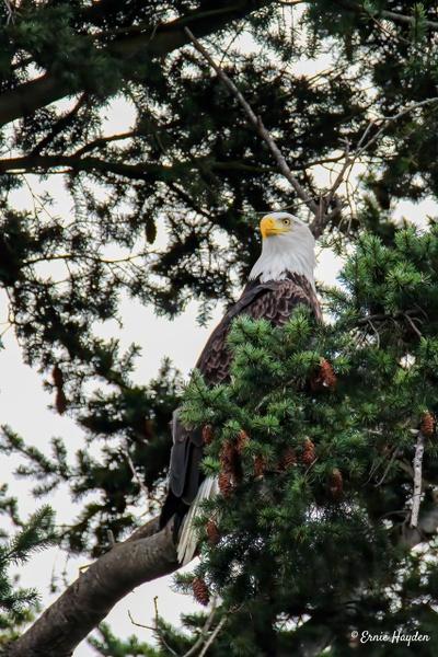 Strong Eagle II - Eagles & Raptors - Rising Moon NW Photography