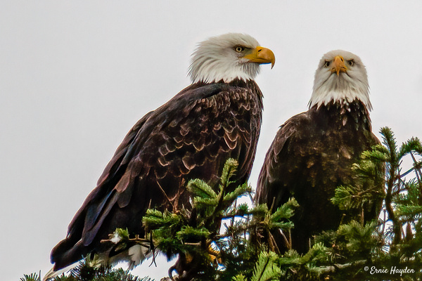 A Pair of Eagles Contemplating Lunch - Eagles & Raptors - Rising Moon NW Photography