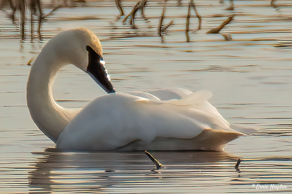 Trumpeter Swan - Waterbirds - Rising Moon NW Photography