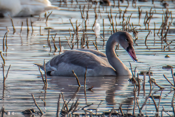 Trumpeter Swan Juvenile - Waterbirds - Rising Moon NW Photography