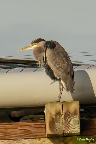 Heron on the Causeway - Herons - Rising Moon NW Photography