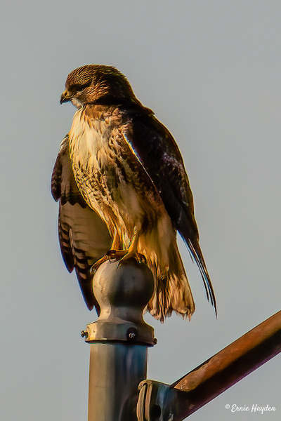 Red-Tail Hawk - Eagles & Raptors - Rising Moon NW Photography