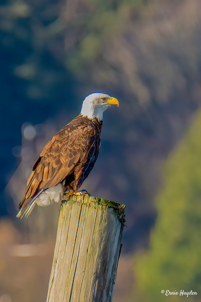 Ready to Eat - Eagles & Raptors - Rising Moon NW Photography