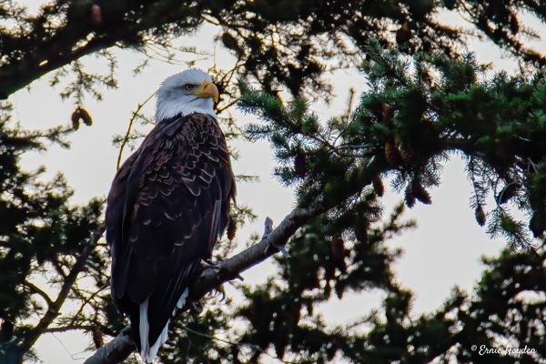Impatient - Eagles & Raptors - Rising Moon NW Photography