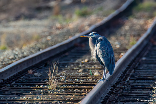 Waiting for the Next Train - Herons - Rising Moon NW Photography