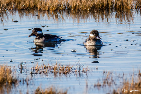 Buffelhead Ducks - Waterbirds - Rising Moon NW Photography