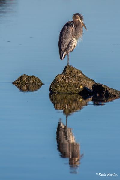 Heron and Reflection - Fidalgo Bay - Herons - Rising Moon NW Photography