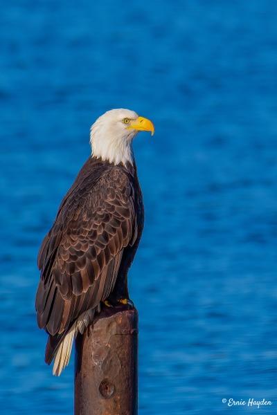 Eagle Searching for Food - Fidalgo Bay - Eagles & Raptors - Rising Moon NW Photography