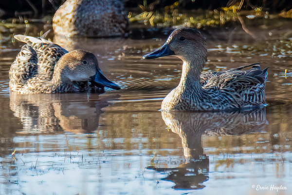 Northern Pintails - Females - Waterbirds - Rising Moon NW Photography