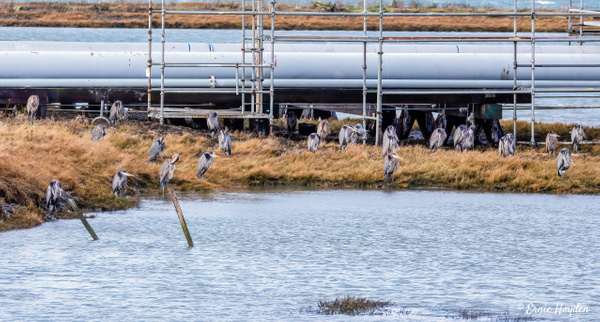 Siege of Herons - Hunkered Down from Westerly Wind - Herons - Rising Moon NW Photography
