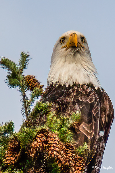 Eye to Eye with White Feather - Eagles & Raptors - Rising Moon NW Photography