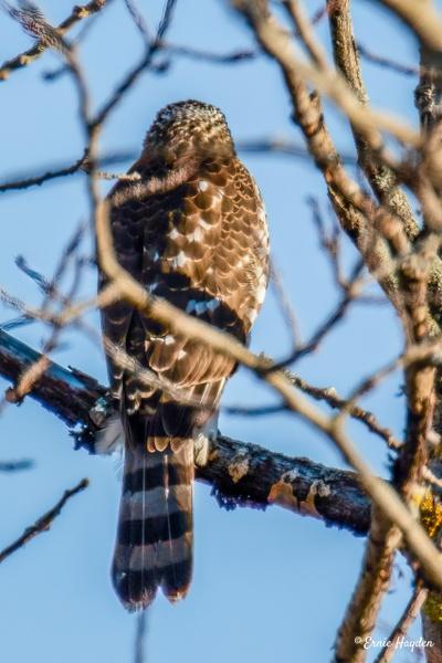 Sharp-shinned Hawk - Eagles & Raptors - Rising Moon NW Photography