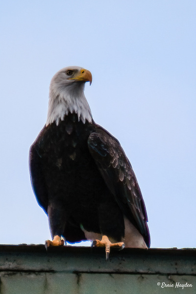 Attentive Eagle - Eagles & Raptors - Rising Moon NW Photography