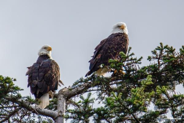 Windblown Eagles - Eagles & Raptors - Rising Moon NW Photography