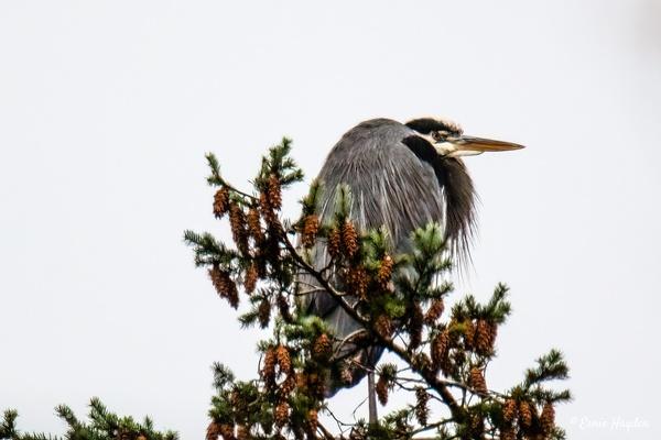 Heron High Atop a Fir Tree - Herons - Rising Moon NW Photography