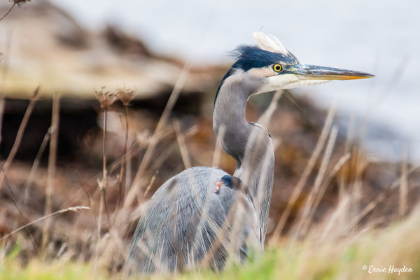 Heron on the Beach - Herons - Rising Moon NW Photography