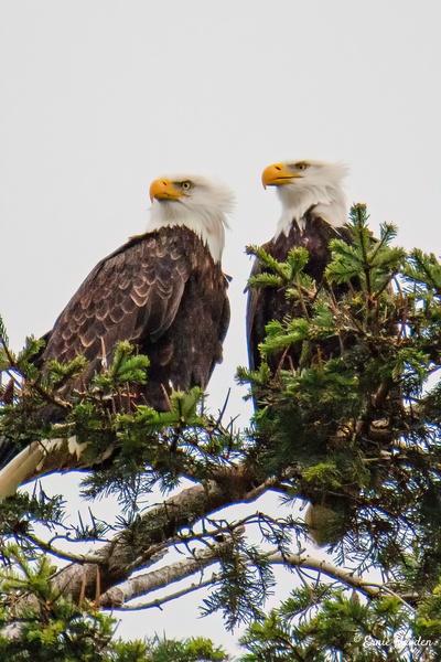 Mr & Mrs Eagle - Eagles & Raptors - Rising Moon NW Photography