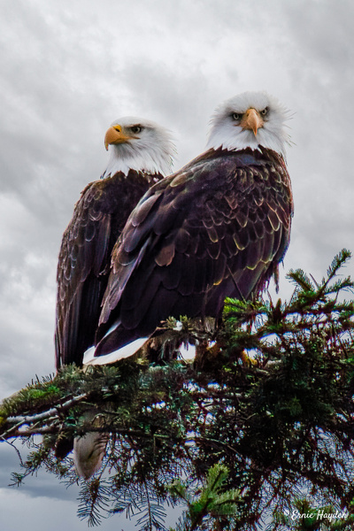 Angry Mrs Eagle - Eagles & Raptors - Rising Moon NW Photography