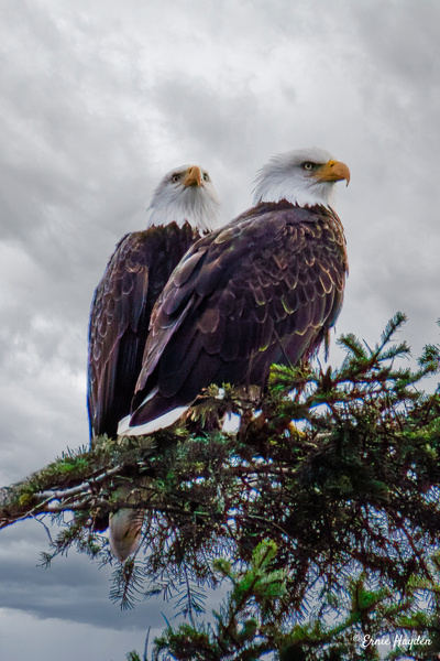 Cute Couple - Eagles & Raptors - Rising Moon NW Photography