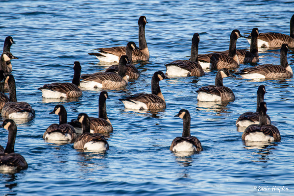 Canada Geese on the Move - Waterbirds - Rising Moon NW Photography