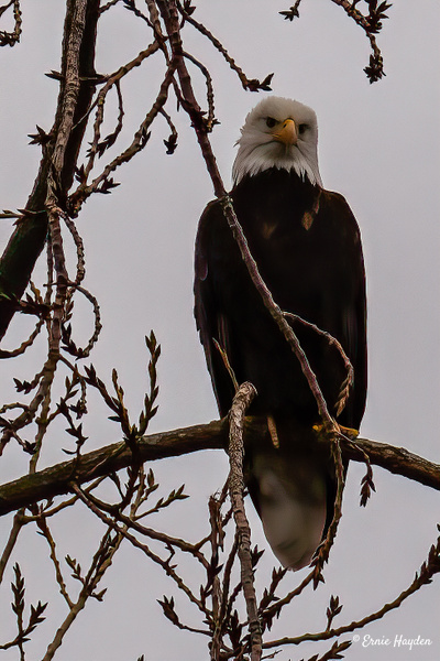 Yes??? - Eagles & Raptors - Rising Moon NW Photography