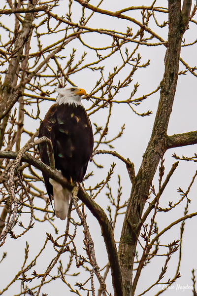 Agressive Stare - Eagles & Raptors - Rising Moon NW Photography