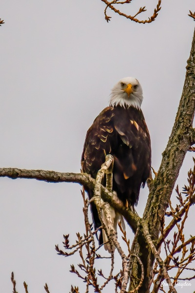 Here's Looking at You! - Eagles & Raptors - Rising Moon NW Photography