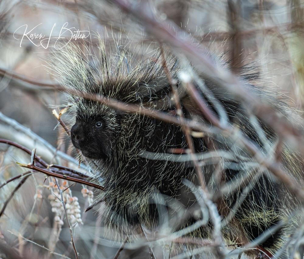 Porcupine Cuteness