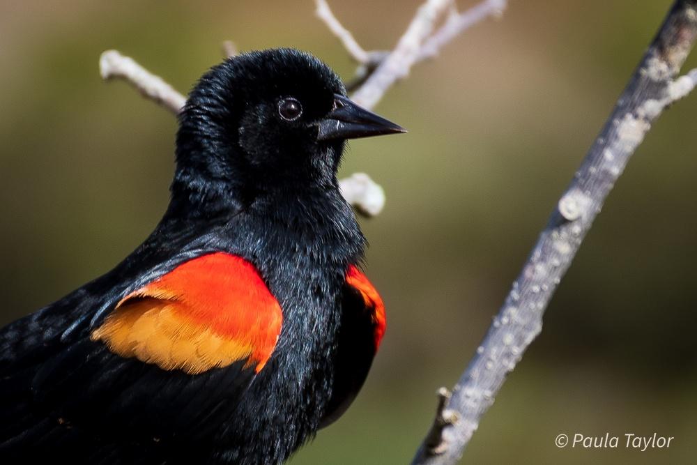 Paula Taylor-Black bird