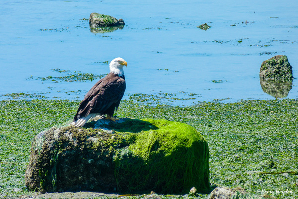 Majestic Eagle Overlooking Beach - Eagles & Raptors - Rising Moon NW Photography