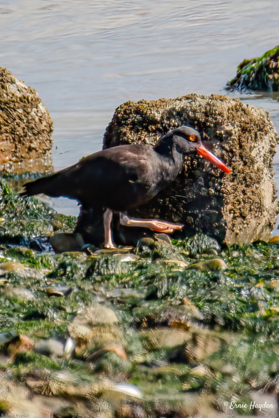 A Hungry Oyster Catcher On the March - Waterbirds - Rising Moon NW Photography