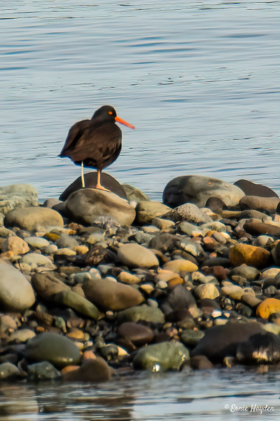 Rocky Shore Oyster Catcher - Waterbirds - Rising Moon NW Photography