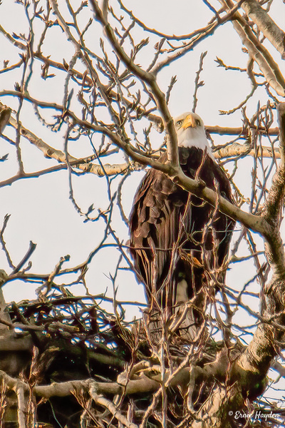 Eagle on the Lookout - Eagles & Raptors - Rising Moon NW Photography
