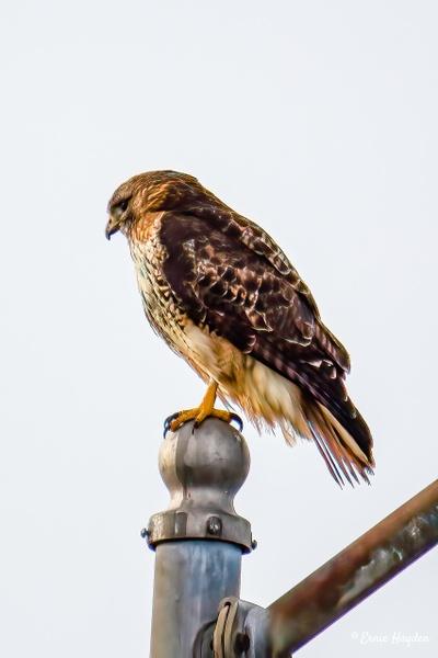 Hungary Hawk - Eagles & Raptors - Rising Moon NW Photography