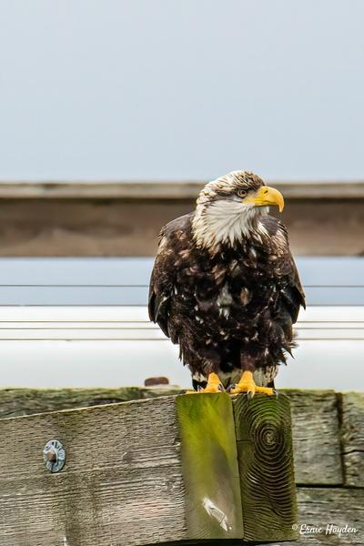 Juvenile Eagle - Eagles & Raptors - Rising Moon NW Photography