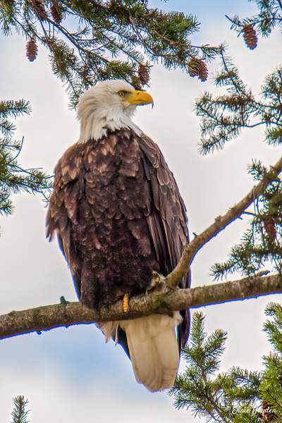 20210114 (1 of 2) - Eagles & Raptors - Rising Moon NW Photography