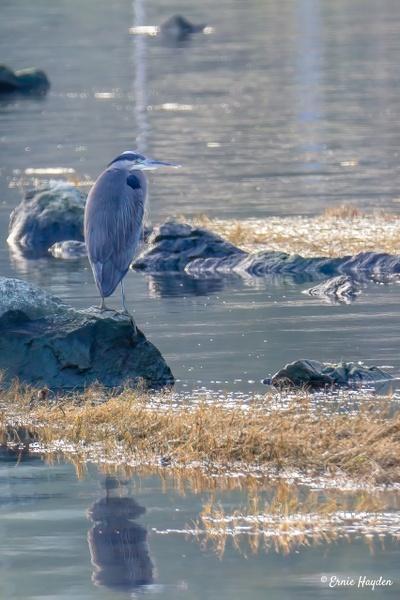 Heron on the Hunt - Fidalgo Bay - Herons - Rising Moon NW Photography