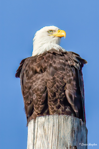 Eagle Atop Phone P - Eagles & Raptors - Rising Moon NW Photography