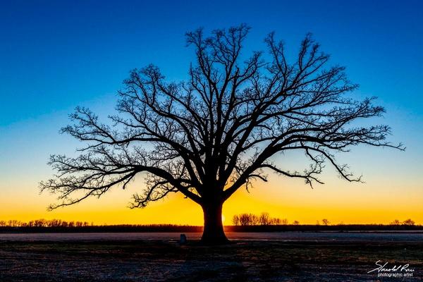 McBaine Oak at Sunset