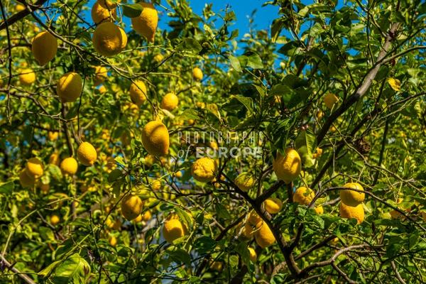 Lemon-grove-Sorrento-Italy - Photographs of the Amalfi Coast, Capri and Sorrento, Italy
