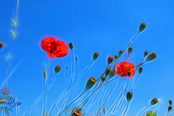 Coquelicots - Effet by Dominique-Bruyneel