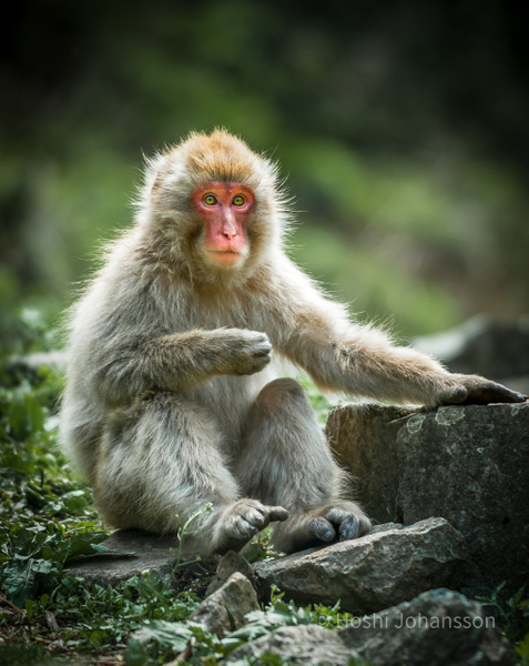 Japanese macaque-Nagano prefecture-Japan
