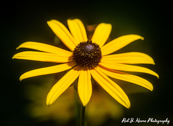 Black Eyed Susan - Longwood Gardens 2020 - Home - Rob J Moore Photography