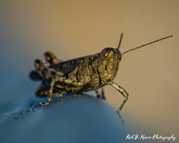 Grasshopper 01 - Swan Harbor 2020 - Insects - Robert Moore Photography