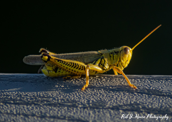 Grasshopper 02 - Swan Harbor 2020 - Insects - Robert Moore Photography